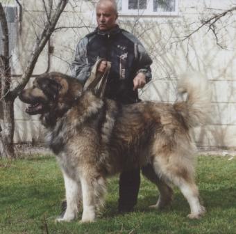Кавказский волкодав, или кавказская пастушья собака _005