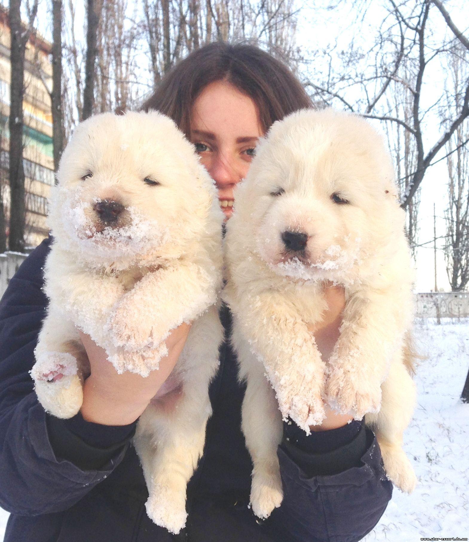 Кавказская овчарка - «Собака требует обязательного воспитания ...   1813x1569